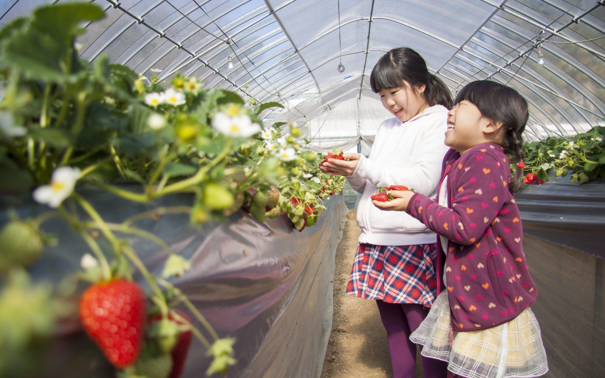 岡山の津山・美作のいちご狩りなら定兼いちご農園